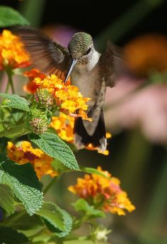 Hummingbird and lantana - I have these flowers on my porch every year - the butterflies love them too!