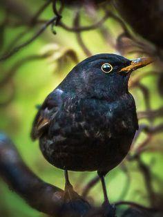 Koltrast ~~Blackbird by AndreasArledal~~ All Birds, Little Birds, Love Birds, Exotic Birds, Colorful Birds, Pretty Birds, Beautiful Birds, British Wildlife, Mundo Animal