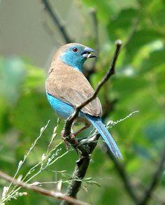 blue waxbill in south africa