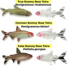 Visual comparison of the three rummy-nose tetras