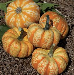 Thompson & Morgan has a wide range of pumpkin squash seed & courgette seed available to buy online. All types of vegetable seed available for delivery! Pumpkin Vegetable, Pumpkin Squash, Pumpkin Pumpkin, Planting Pumpkins, Planting Flowers, Pumpkin Varieties, Squash Seeds, Spring Hill Nursery, Types Of Vegetables