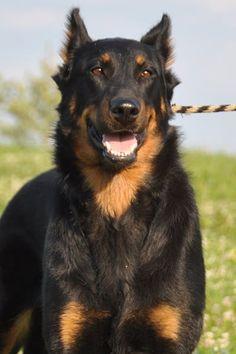 Beauceron #herding #beauceron #wagwalking Beautiful Dogs, Animals Beautiful, Cute Animals, Beautiful Creatures, Best Guard Dogs, Best Dogs, Black German Shepherd Puppies, Bluetick Coonhound, Norwich Terrier