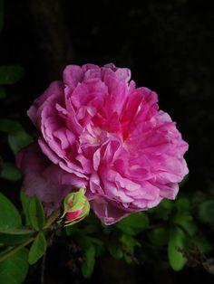Die betörend duftende Zentifolia-Rose 'Tour de Malakoff' (Soupert & Notting, 1856) besticht mit bis zu 10 cm grossen, nicht sehr dicht gefüllten Blüten in kräftigem Violett bis Lila-Rot mit grünem Auge. Die papierartigen Blütenblätter sind hell gerandet und in purpurfarbenen bis violetten Tönen geadert und marmoriert. Die Blumen färben sich zunehmend grau-violett und mauve.