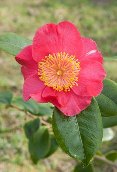 Camallia 'Jitsugetsusei', a 'Higo' Camellia from Japan. Very much sought after… Japanese Names, Horticulture, Installation Art, Mother Nature, Rose, Floral, Flowers, Inspire, History