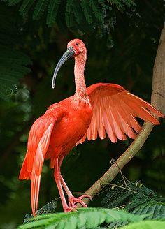 Scarlet Ibis--Flamboyant, via Flickr.