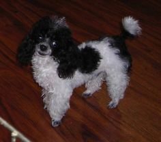 Teacup Poodle Pictures Looks like my Barbie! Very Cute Puppies, Tea Cup Poodle, Poodle Mix, Cool Photos, Amazing Photos, Four Legged, Teacup, Rescue Dogs, Best Dogs