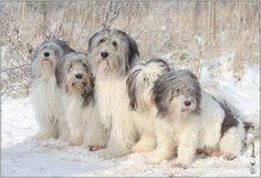 Polish Lowland Sheepdog Information, Polish Lowland Sheepdog Information Proposed Wales Club Group Polski Owczarek Nizinny Animals And Pets, Funny Animals, Cute Animals, Funny Dogs, Cute Dogs, Polish Lowland Sheepdog, Unusual Dog Breeds, Puppy Breath, Pet Breeds