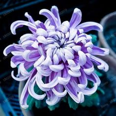 Chinese mum Seeds Rare Perennial Flower Seeds Indoor Bonsai Plants Chrysanthemum plant For Home & Garden mixed color Japanese Chrysanthemum, Chrysanthemum Flower, Japanese Flowers, Chinese Flowers, Exotic Flowers, Colorful Flowers, Beautiful Flowers, Flowers Perennials, Planting Flowers