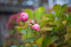 """november roses - for more fine art photography: <a href=""""http://veredit-photographic-poems.blogspot.com/ """">Veredit-iertes</a> my book store: <a href=""""http://www.blurb.de/user/store/veredit/"""">veredit's books</a>"""