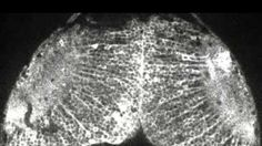 A team of Japanese researchers has achieved something incredible: they've captured, for the first time ever, a movie which shows how thoughts form in the brain.