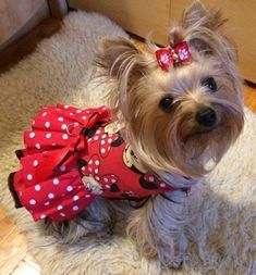 Super Cute Puppies, Cute Little Puppies, Cute Dogs, Girl Dog Clothes, Puppy Clothes, Puppy Crafts, Yorshire Terrier, Chihuahua Clothes, Cute Dog Photos