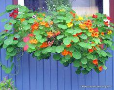 Nasturtium and Zinnia (zinnia envy ) Farm Gardens, Window Boxes, Flower Boxes, Raised Beds, Trellis, Container Gardening, Poppies, Garden Design, Seeds