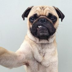Pugs http://www.buzzfeed.com/mattbellassai/reasons-why-pugs-are-the-most-majestic-creatures-on-earth