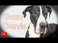 Gran Danés Morynkah - Perros GIGANTES Pitbulls, Pets, Animals, Delaware, Youtube, Board, Blog, Giant Dogs, Pet Products