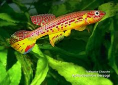 Aphyosemion herzogi, Radda, 1975. Range: Africa: northern Gabon, Equatorial Guinea and Cameroon in clear and flowing brooks in the mountainous rainforest of the inland plain. Not a seasonal killifish. Bottom spawner, 1 month incubation.