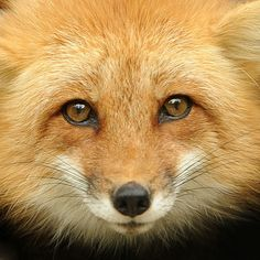 Mr. Red Fox is lovely.