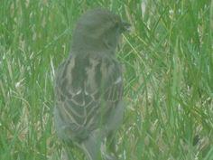 Green misty sparrow.