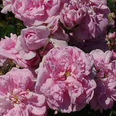 ISPAHAN (Κατηγορία Δαμασκηνή), ΙΣΠΑΧΑΝ: Μια από τις πολλές ποικιλίες που κατάγονται από τα περίφημα τριαντάφυλλα της Δαμασκού (Ροδή η Δαμασκηνή). Έχει άρωμα, πλούσια και πρώιμη ανθοφορία που διαρκεί . Σχηματίζει πολύ όμορφα μπουμπούκια που ανοίγοντας φουσκώνουν στο κέντρο . Όπως και οι άλλες ποικιλίες της κατηγορίας αυτής ανθίζει μόνο την άνοιξη.