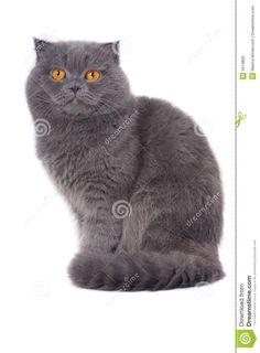 Scottish fold cat small ear. - #scottishfoldcatbreeds - More Scottish Fold Cat Breeds at Catsincare.com!