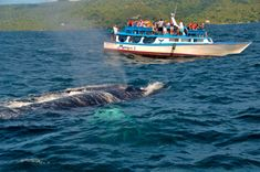 Travelers can book boat excursions to observe whales Samana, Book Boat, Destinations, Excursion, Humpback Whale, Dominican Republic, Caribbean, Whales, Travel Ideas