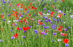 Blumenwiese für den Vorgarten ähnliche tolle Projekte und Ideen wie im Bild vorgestellt findest du auch in unserem Magazin . Wir freuen uns auf deinen Besuch. Liebe Grü�
