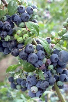'Bluecrop' Blueberries