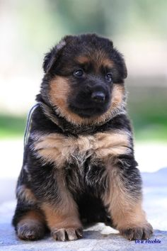 42 photos de bergers allemands qui vont vous donner envie d'en adopter un - Animaaaaals Gsd Puppies, Cute Dogs And Puppies, All Dogs, I Love Dogs, Beautiful Dogs, Animals Beautiful, Best Dog Training, Schaefer, Dog Rules