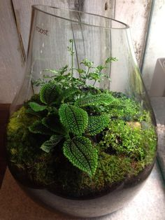 Tropical terrarium with moon valley pilea, silver lace fern, baby's tears, mosses, black lava rock, found stones, decorative reindeer moss.