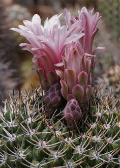.flowering cactus