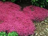 "Red Creeping Thyme - Fragrant & fast-growing 1"" tall ground cover. Grows in sun and shade, plus you can walk on it .... Perfect for under the front yard tree"