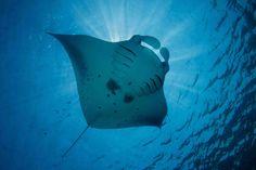 manta ray - Google Search