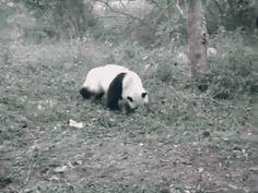 Roulade de panda