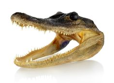 Alligator head (from The Evolution Store)
