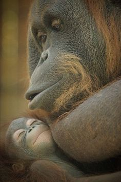 Orangutan lullabye - a mother's love for her baby Primates, Mammals, Animals And Pets, Baby Animals, Funny Animals, Cute Animals, Strange Animals, Wild Animals, Beautiful Creatures