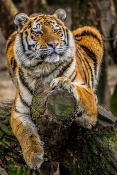 omg am such a fan of tigers! i love how beautiful they are!!! favorite animal right here!!