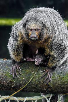 Hvidhovedet Saki abe - Saki monkey Pithecia pithecia | Flickr - Photo Sharing!