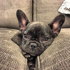 Batpig & Me Tumble It • Mom!!! The couch is eating me  HAPPY SATURDAY IG...