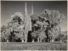 Grove, Bishop, California; Ansel Adams (American, 1902 - 1984); Bishop, California, United States; about 1936; Gelatin silver print; 17.6 x 23.3 cm (6 15/16 x 9 3/16 in.); 85.XM.256.3; Copyright: © The Ansel Adams Publishing Rights Trust