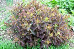 Euphorbia dulcis 'Chameleon'