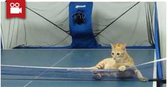 Smart Cat Playing Ping Pong <3  Watch here: http://meowaum.com/2073-smart-cat-playing-ping-pong/