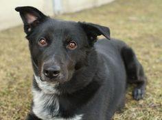 Black Border Collie Labrador Crossed