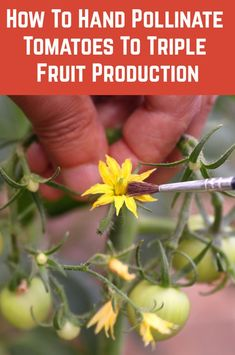 How To Hand Pollinate Tomato Flowers To Triple Fruit Production Home Vegetable Garden, Tomato Garden, Veggie Gardens, Growing Veggies, Growing Plants, Growing Tomatoes Indoors, Shade Garden, Garden Plants, Indoor Garden