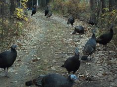 wild turkeys in asheville at Em and Nicks next door neighbors drive.