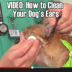 This is a helpful video for you and for your dogs.How to Clean Your Dog's Ears Dog Care Tips, Pet Care, Pet Tips, Best Practice, Chinchilla, I Love Dogs, Puppy Love, Game Mode, Pet Health