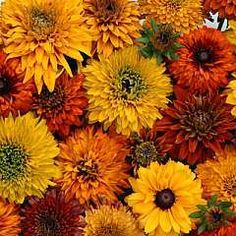 Rudbeckia hirta 'Moroccan Sun'.... Will need to find this one for the future garden :)