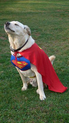 Dog of Steel. He looks like he is ready for take off...very cute superhero.