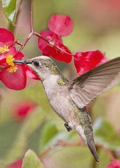 Hummingbird and Begonias by Bonnie Barry