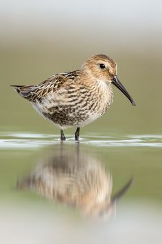 The Dunlin (Calidris alpina) small wader that breeds in arctic and subarctic regions in Northern Europe and Asia, winters in Africa