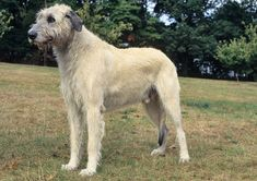 Everything you need to know about Irish Wolfhounds - Personality, Health, Grooming, etc.