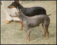 Blue Manchester Terrier - extreme genetic foul-up